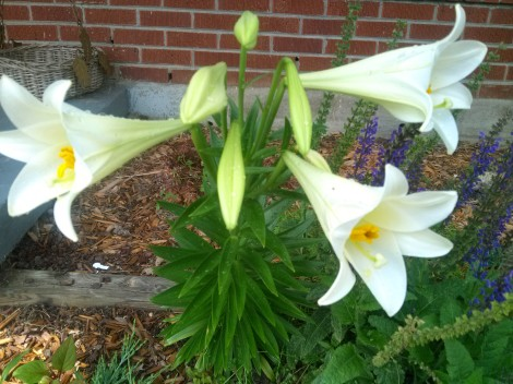Easter Lilies Blooming on Pentecost